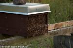 Die rückkehrenden Bienen sammeln sich vor dem Flugloch.