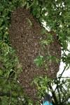 Wackernheimer Bienen